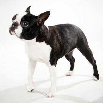 Boston Terrier Dog Breeds