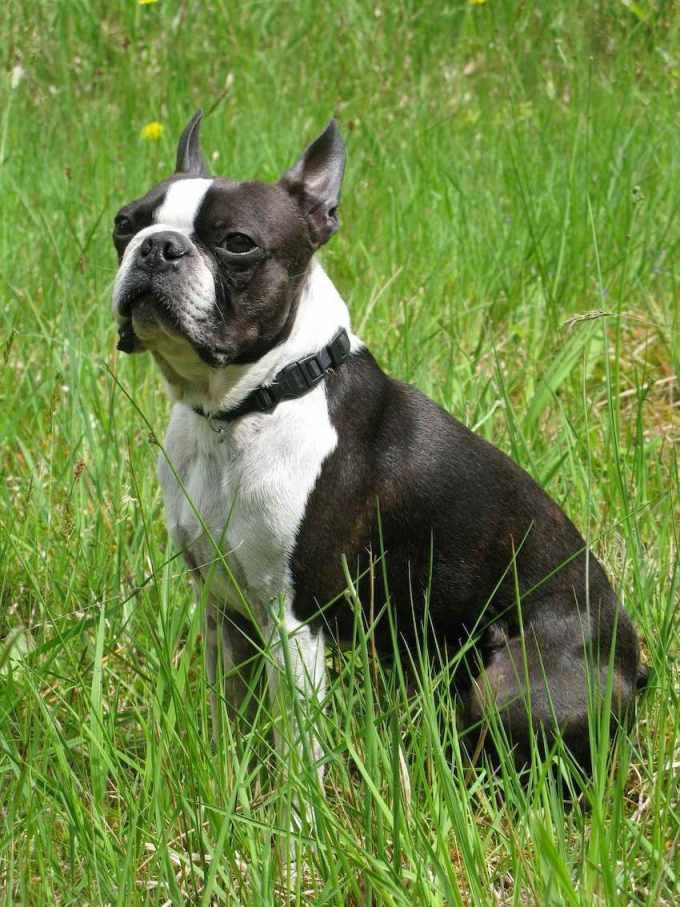 Boston Terrier Dog For Sale