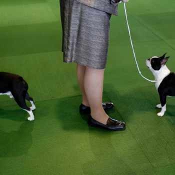 Boston Terrier Dog Show