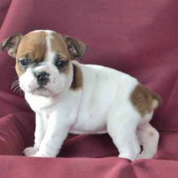 Boston Terrier For Sale In Iowa