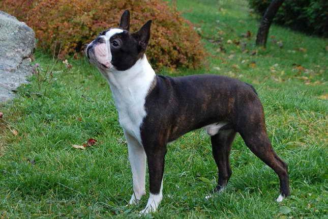 Boston Terrier For Sale Kansas City