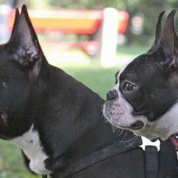 Boston Terrier French Bulldog