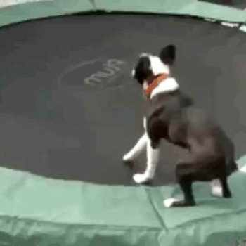 Boston Terrier Gif