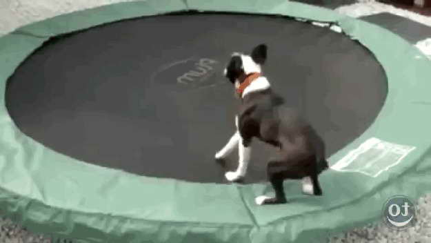 Boston Terrier Gif