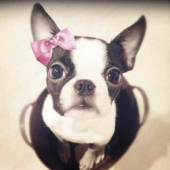Boston Terrier Girls