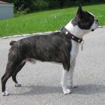 Boston Terrier History