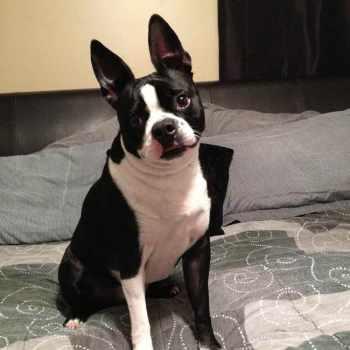 Boston Terrier Indianapolis
