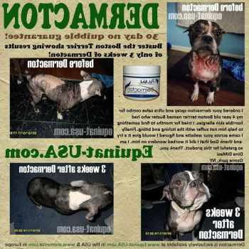 Boston Terrier Itchy Skin