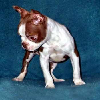 Boston Terrier Knee Problems