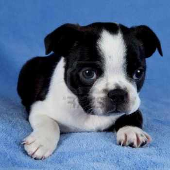Boston Terrier Massachusetts