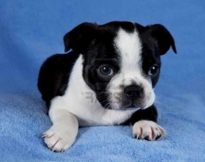 Boston Terrier Massachusetts