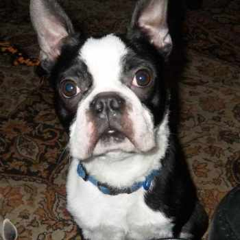 Boston Terrier Mix For Adoption