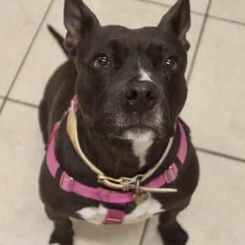 Boston Terrier Mixed With Pitbull