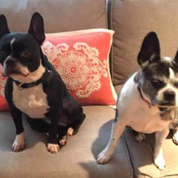Boston Terrier Nh