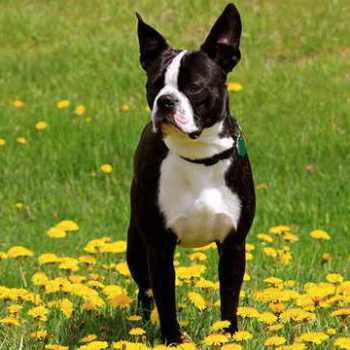 Boston Terrier Pros And Cons