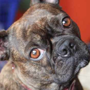 Boston Terrier Pug Mix For Adoption
