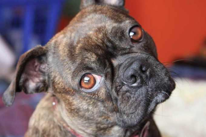 Boston Terrier Pug Mix For Adoption