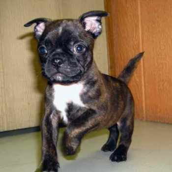Boston Terrier Pug Mix Puppies