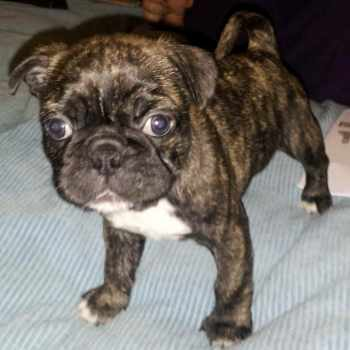 Boston Terrier Pug Mix