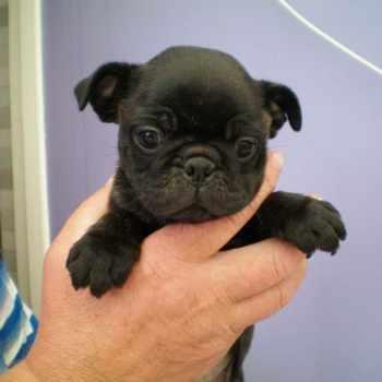 Boston Terrier Pug Puppies
