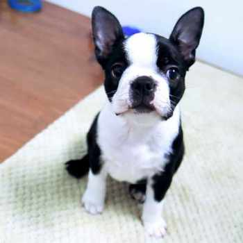 Boston Terrier Pupies