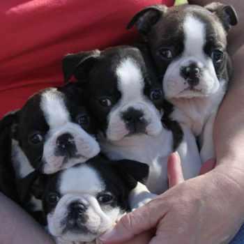 Boston Terrier Puppies Denver Colorado