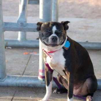 Boston Terrier Puppies For Sale Austin Texas