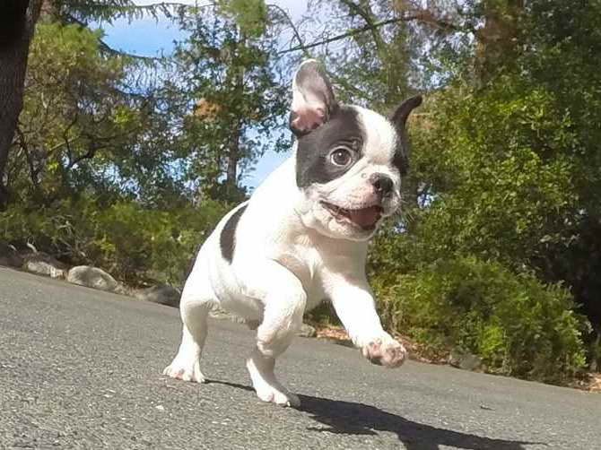 Boston Terrier Puppies For Sale Bay Area