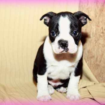Boston Terrier Puppies For Sale Craigslist
