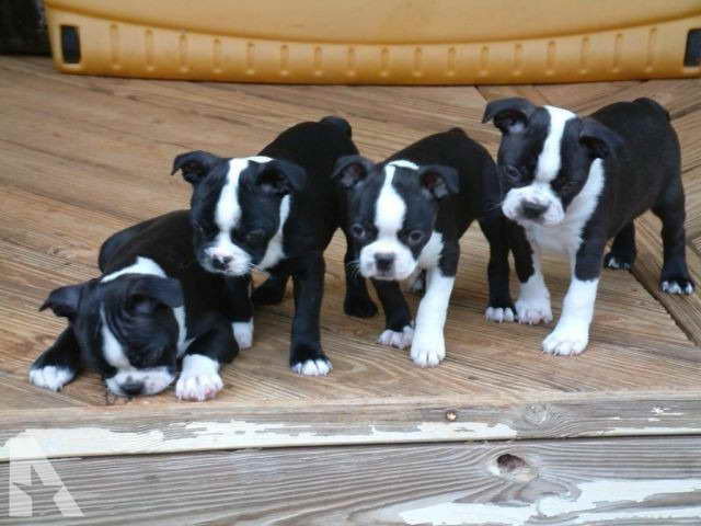 Boston Terrier Puppies For Sale In Ga