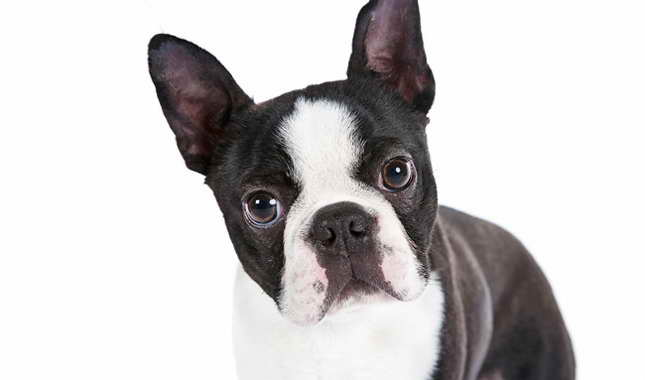 Boston Terrier Puppies For Sale In Indiana