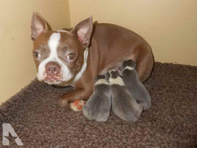 Boston Terrier Puppies For Sale In South Carolina