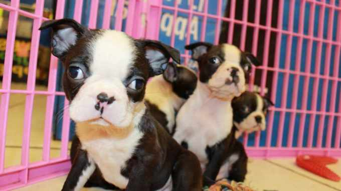 Boston Terrier Puppies For Sale Los Angeles