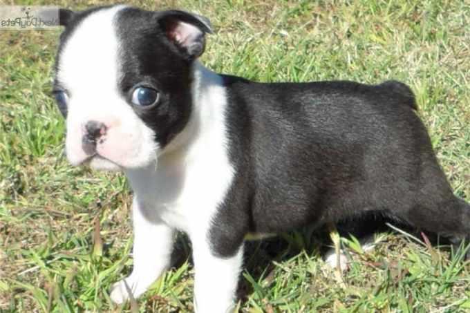 Boston Terrier Puppies For Sale Nj