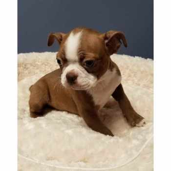 Boston Terrier Puppies For Sale San Antonio