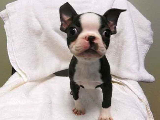 Boston Terrier Puppies For Sale South Florida