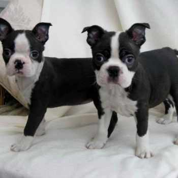 Boston Terrier Puppies Houston Tx