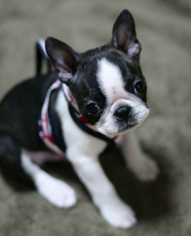 Boston Terrier Puppies In Alabama