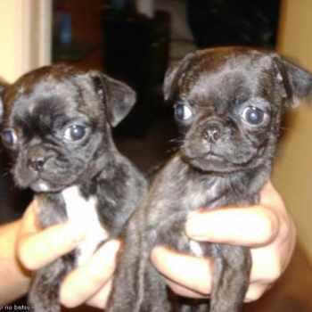 Boston Terrier Puppies In Oklahoma