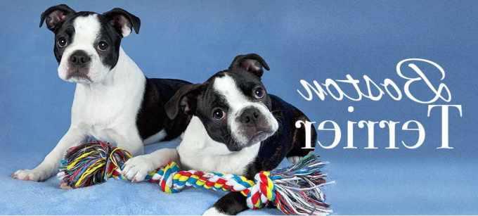 Boston Terrier Puppies Miami