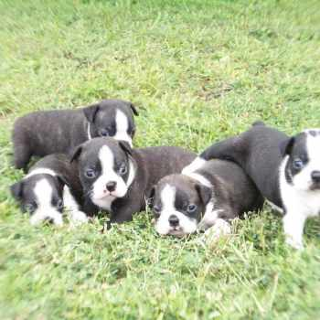 Boston Terrier Puppies Mississippi