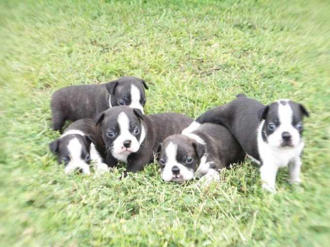 Boston Terrier Puppies Mississippi