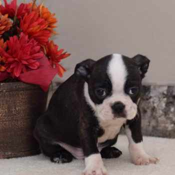 Boston Terrier Puppies Montana
