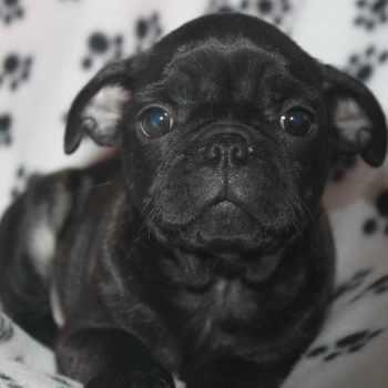 Boston Terrier Puppies Ny