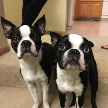 Boston Terrier Puppies Omaha
