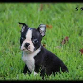 Boston Terrier Puppies Pensacola