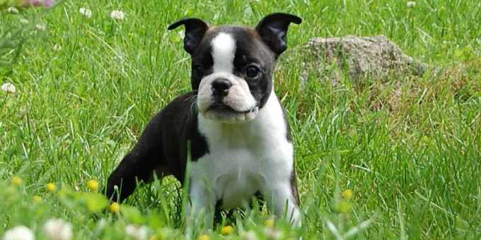 Boston Terrier Puppies Price Range
