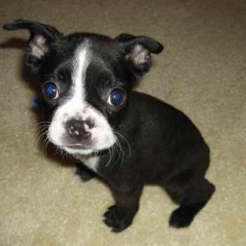 Boston Terrier Puppies Rescue