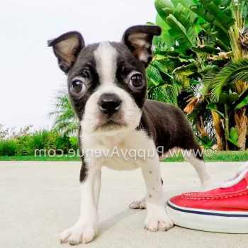 Boston Terrier Puppies Southern California