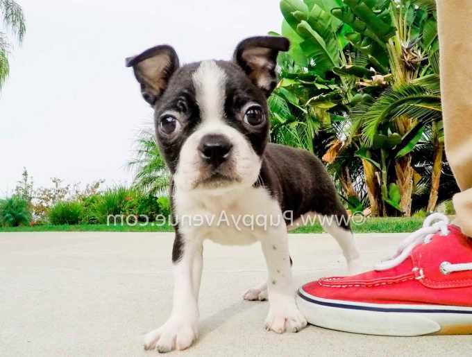 Boston Terrier Puppies Southern California